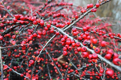firethorn pyracantha berries
